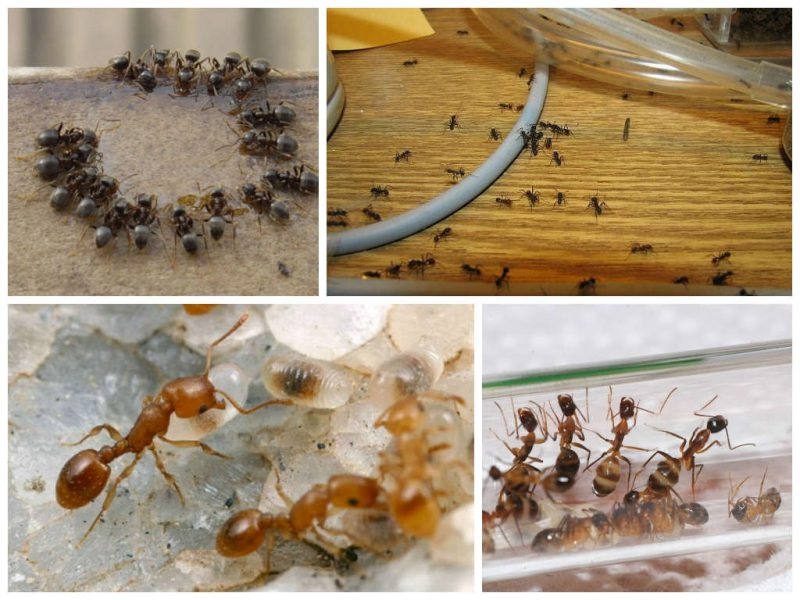 Борьба с домашними муравьями